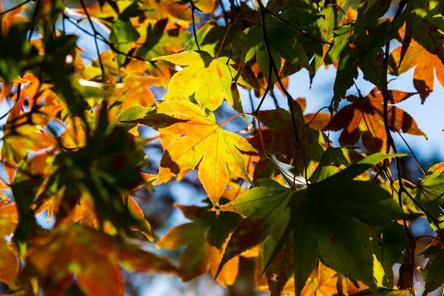 Folha de outono amarelo translúcido à luz do sol.