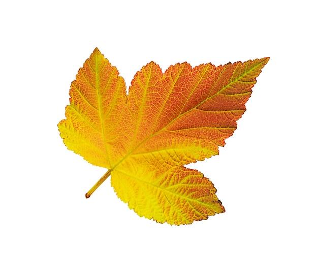 Folha de outono isolada no fundo branco