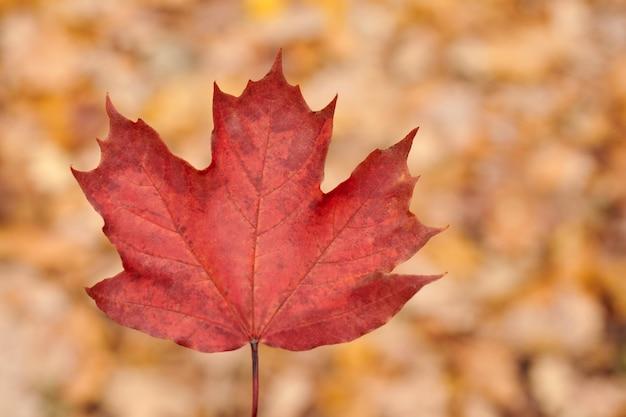 Folha de outono vermelha em um parque de outono