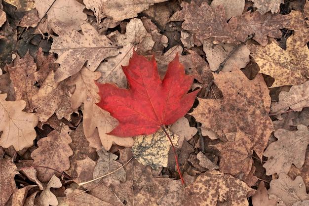 Folha de outono vermelha na folhagem amarela