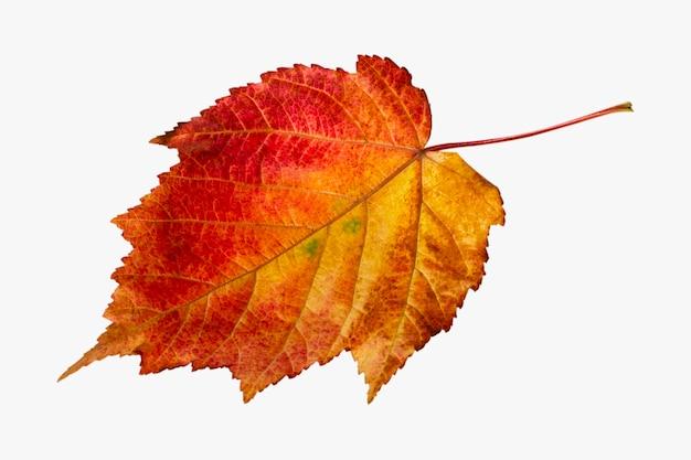 Folha de outono vermelho-amarela de um bordo decorativo. isolado