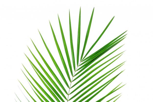 Folha de palmeira bonita isolada no fundo branco. planta exótica