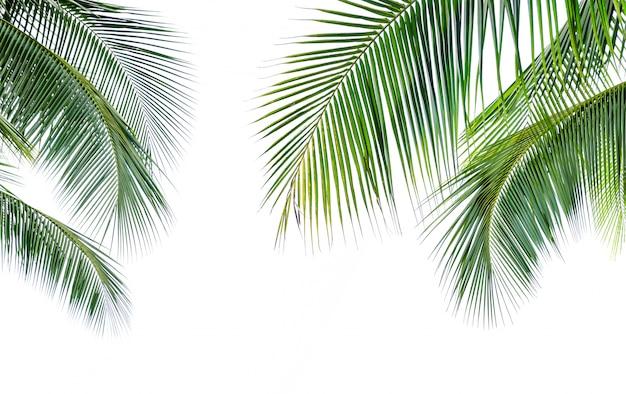 Folha de palmeira de coco isolada no fundo branco