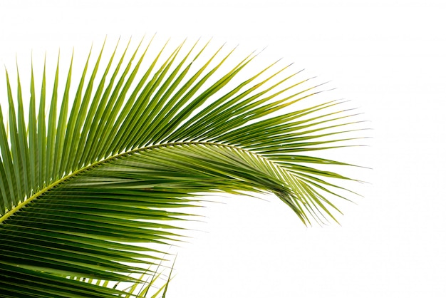 Folha de palmeira de coco isolada