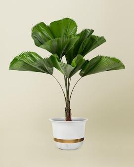 Folha de palmeira ondulada em uma panela branca