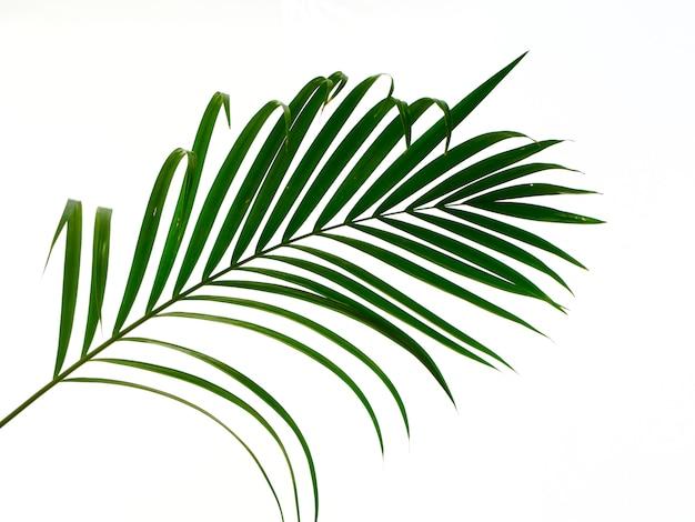 Folha de palmeira tropical em fundo branco