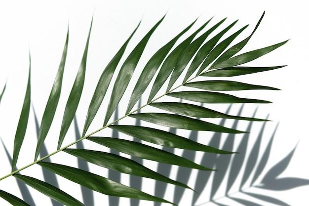 Folha de palmeira tropical em um fundo branco