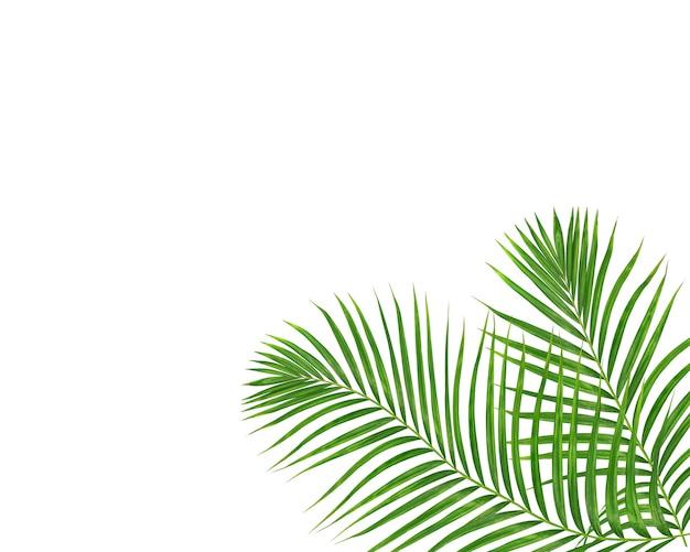 Folha de palmeira verde em fundo branco