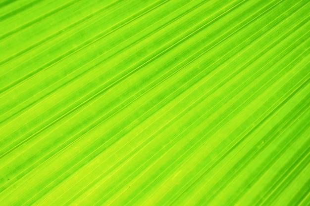 Folha de palmeira verde fã com textura e fundo