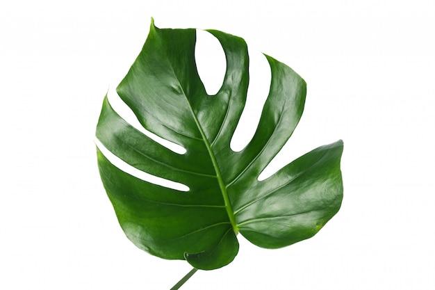 Folha de palmeira verde isolada no branco