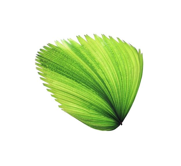Folha de palmeira verde tropical isolada no branco com traçado de recorte