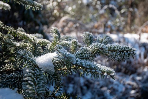 Folha de pinheiro com neve na temporada de inverno