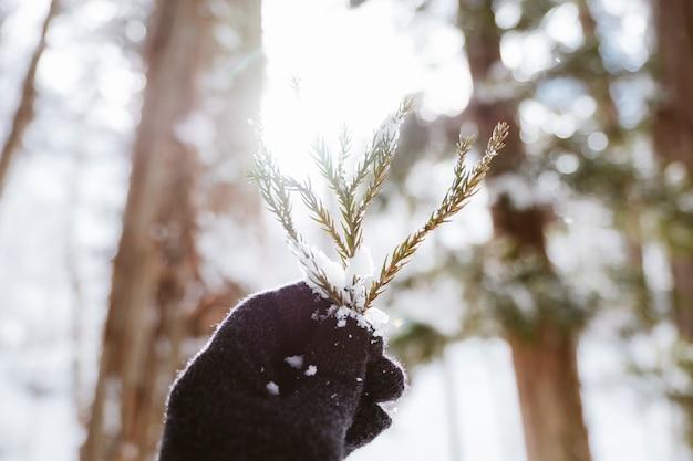 Folha de pinheiro