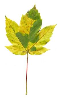 Folha de plátano de outono colorida isolada