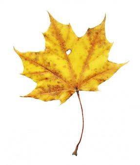 Folha de plátano em cores de outono. folha de plátano de outono multicolorida isolada