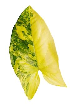Folha de syngonium podophyllum variegetada em fundo branco