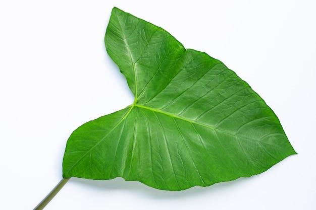 Folha de taro isolada isolada