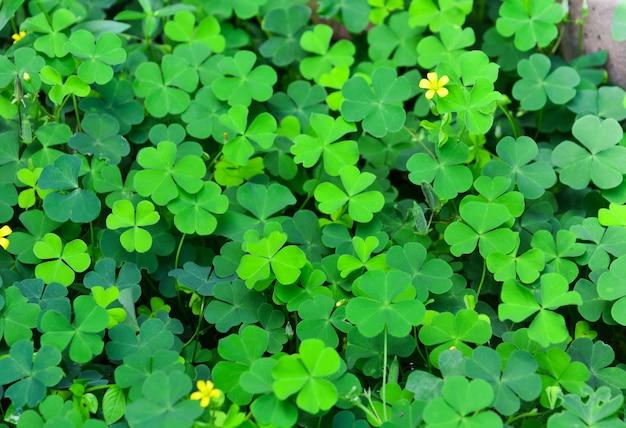 Folha de trevos verdes com pequena flor amarela