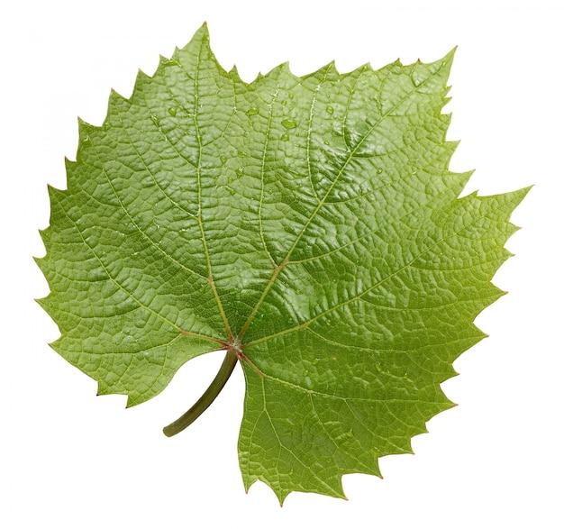 Folha de uva isolada no fundo branco.