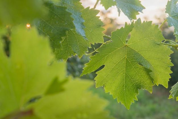 Folha de uva (uva) ao pôr do sol choveu recentemente