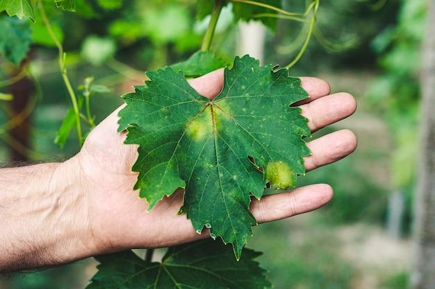 Folha de uva verde doente nas mãos do jardineiro. doenças da videira.