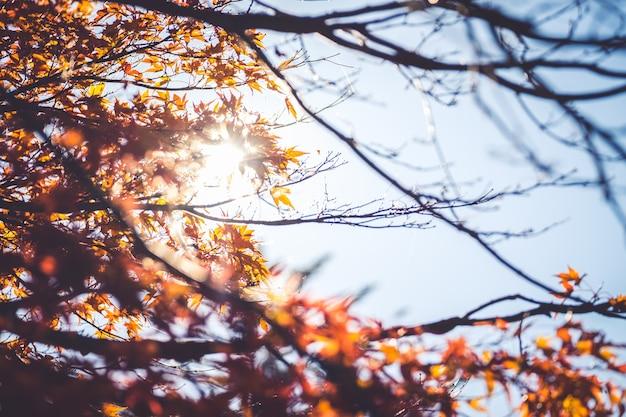 Folha do momiji do bordo do outono no fundo do céu azul