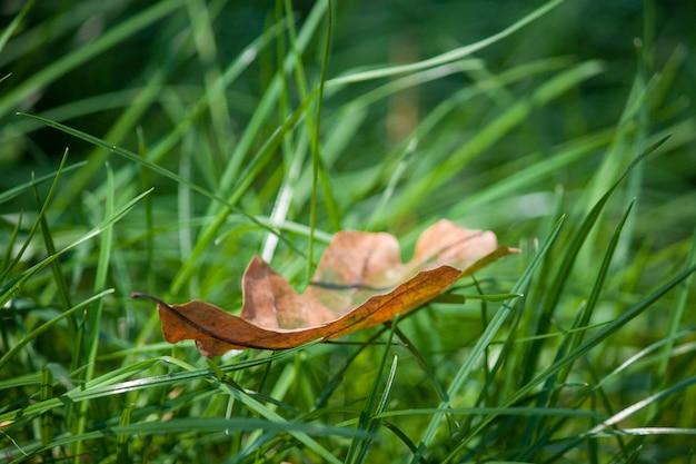 Folha do outono na grama verde, macro. logo outono.