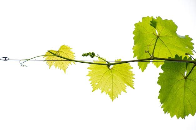 Folha e ramo de uva em fundo branco.