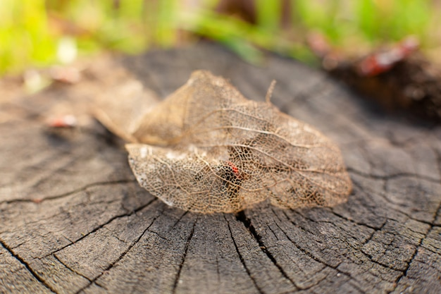Folha esqueletizada seca em um toco