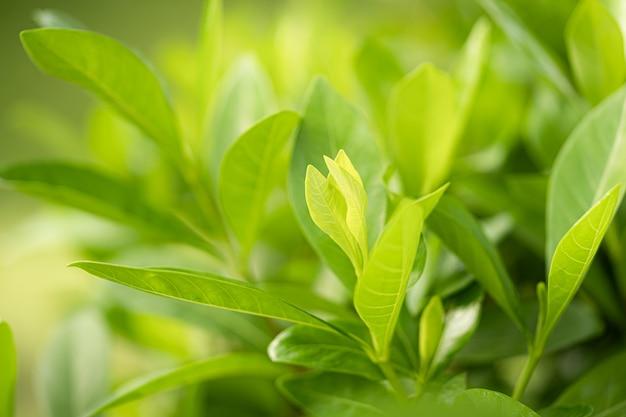Folha fresca da árvore verde da natureza na bela luz do sol desfocada suave bokeh