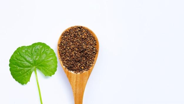 Folha fresca de gotu kola com sementes, ervas e plantas medicinais. copie o espaço