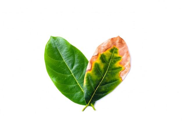 Folha infecciosa com folhas verdes em mau ambiente isolado no branco