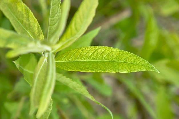 Folha jovem alongada em crescimento e floração durante a primavera Foto Premium