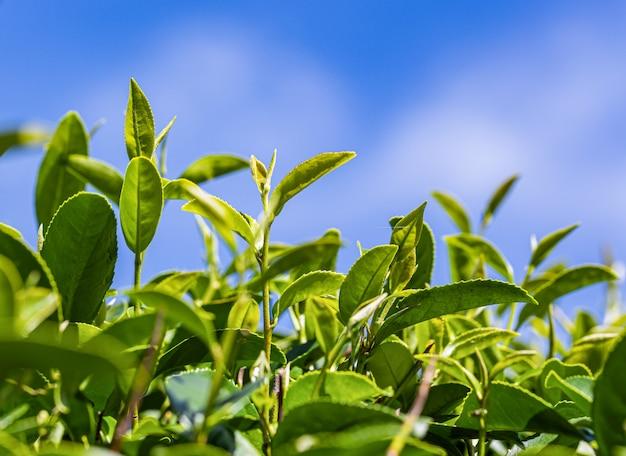 Folha jovem de chá verde