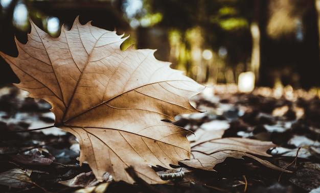 Folha marrom seca do bordo no primeiro plano no assoalho da floresta com fundo borrado
