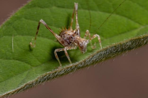 Folha ninfa katydid da subfamília phaneropterinae