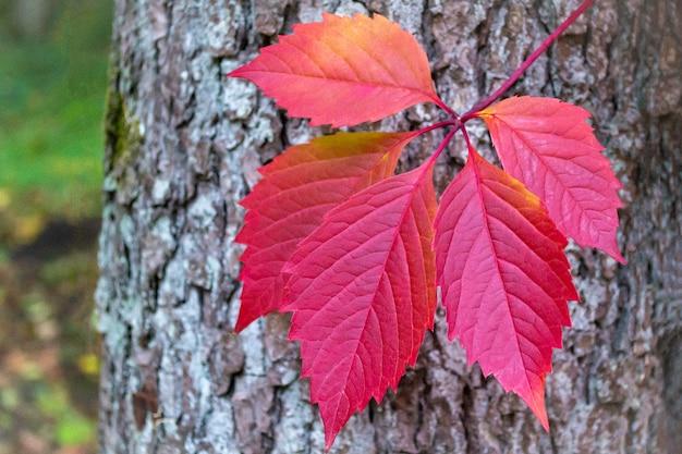 Folha no tronco da árvore. folha roxa esculpida de uvas bravas.