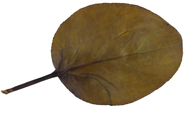Folha seca bergenia crassifolia de herbário isolado no fundo branco.