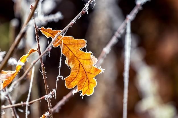 Folha seca de carvalho coberta de geada em uma árvore