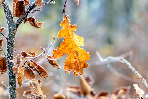 Folha seca de carvalho em uma árvore na floresta em uma manhã gelada
