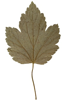 Folha seca de herbário isolada