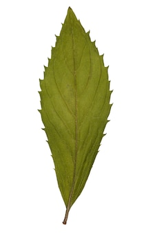 Folha seca de herbário isolado na superfície branca.