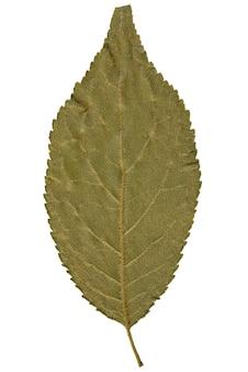 Folha seca de herbário isolado no fundo branco.