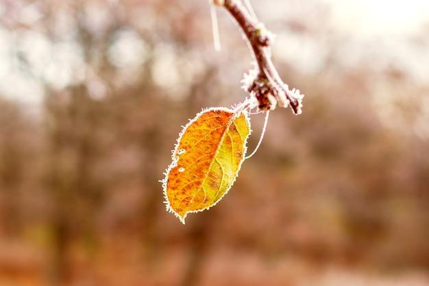 Folha seca de laranja coberta de geada em um galho de árvore