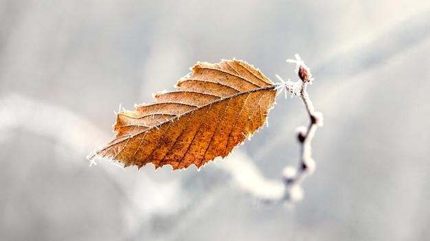 Folha seca de outono coberta de geada em uma luz