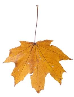 Folha seca de outono isolada