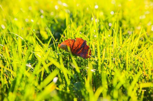 Folha seca deitada na grama verde. estação do outono. período de verão indiano.