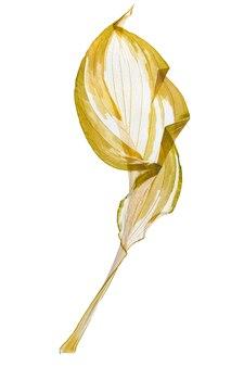 Folha seca hosta de herbário isolado na superfície branca.