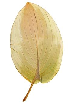 Folha seca hosta de herbário isolado no fundo branco.