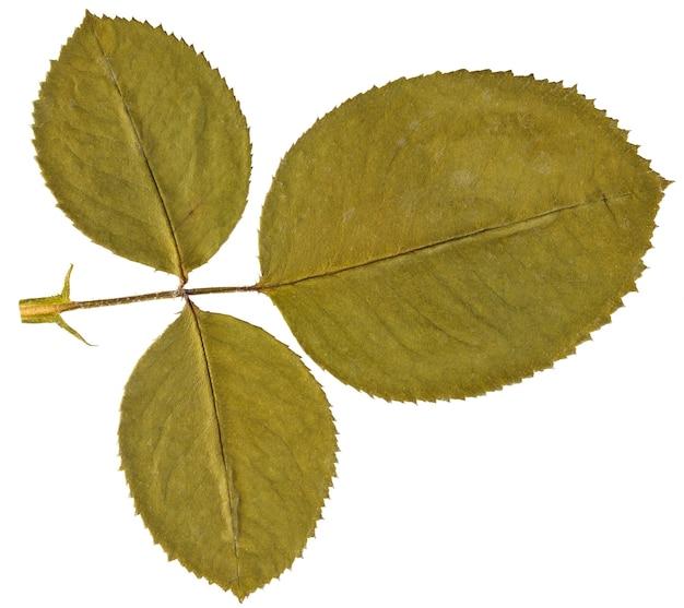 Folha seca subiu de herbário isolado na superfície branca.